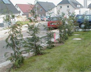 Foto: Zypressenreihe im Vorgarten