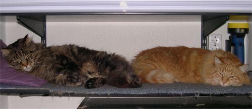 zwei Kater liegen nebeneinander auf einem Regalbrett