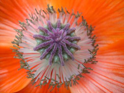 Blüteninneres eines Türkischen Mohns
