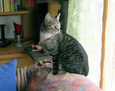 getigerte Katze auf der Sofalehne