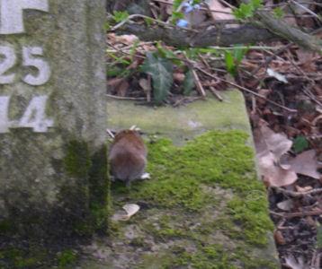 Maus von hinten neben Grabstein
