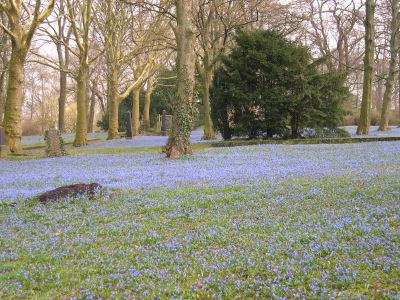 Blausternblüten