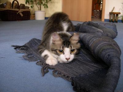 Kater auf dem Sprung auf zusammengeknülltem Teppich
